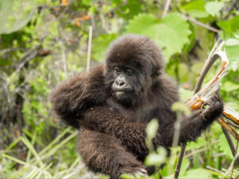 Baby gorilla having a snack