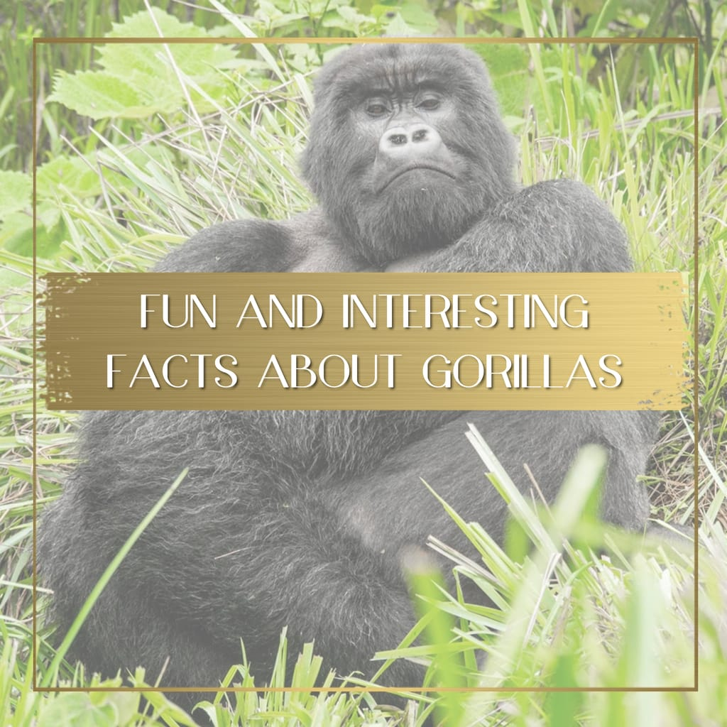 Facts about gorillas feature