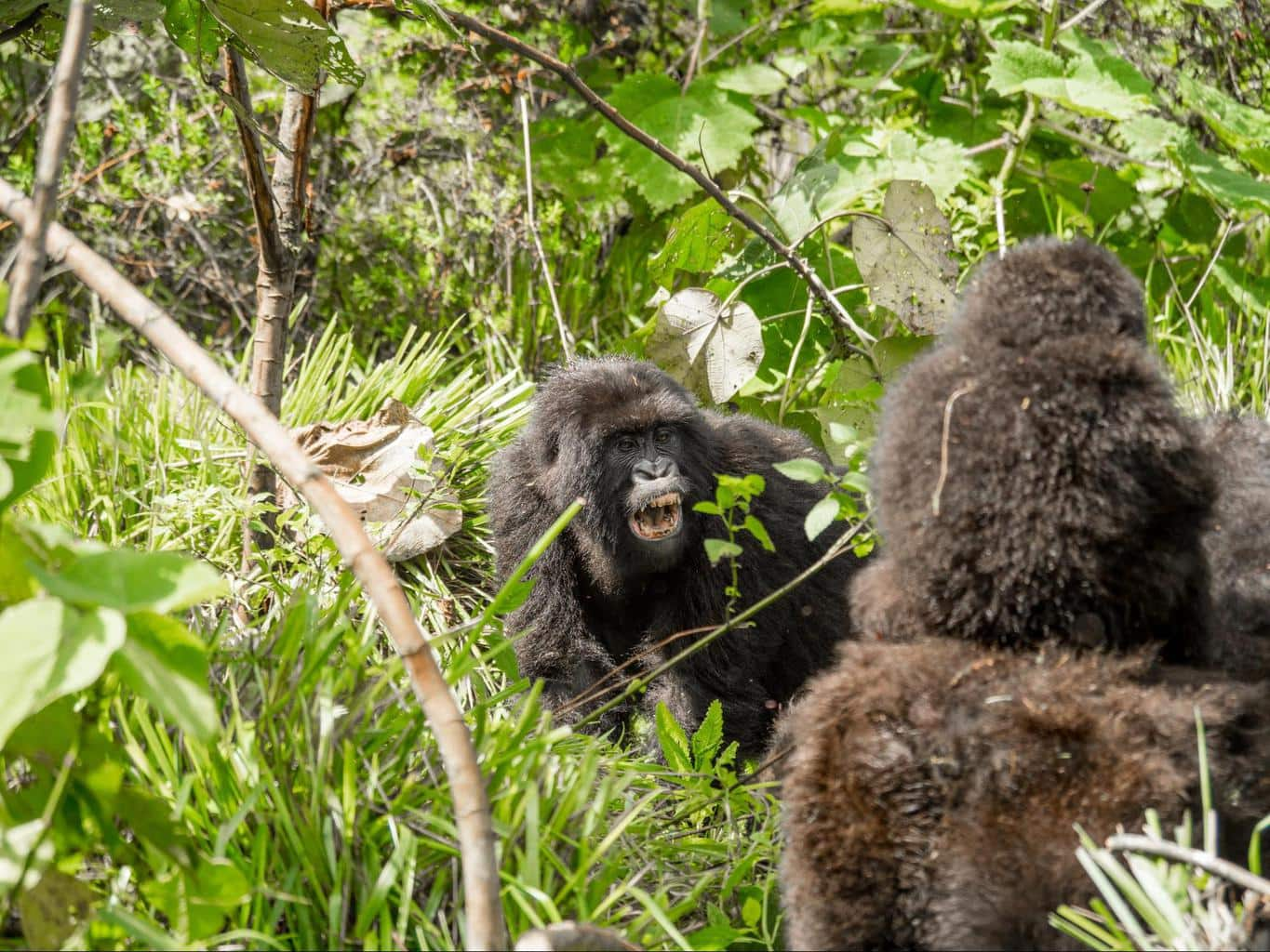 Female gorilla showing her teeth to the other female gorilla in the group