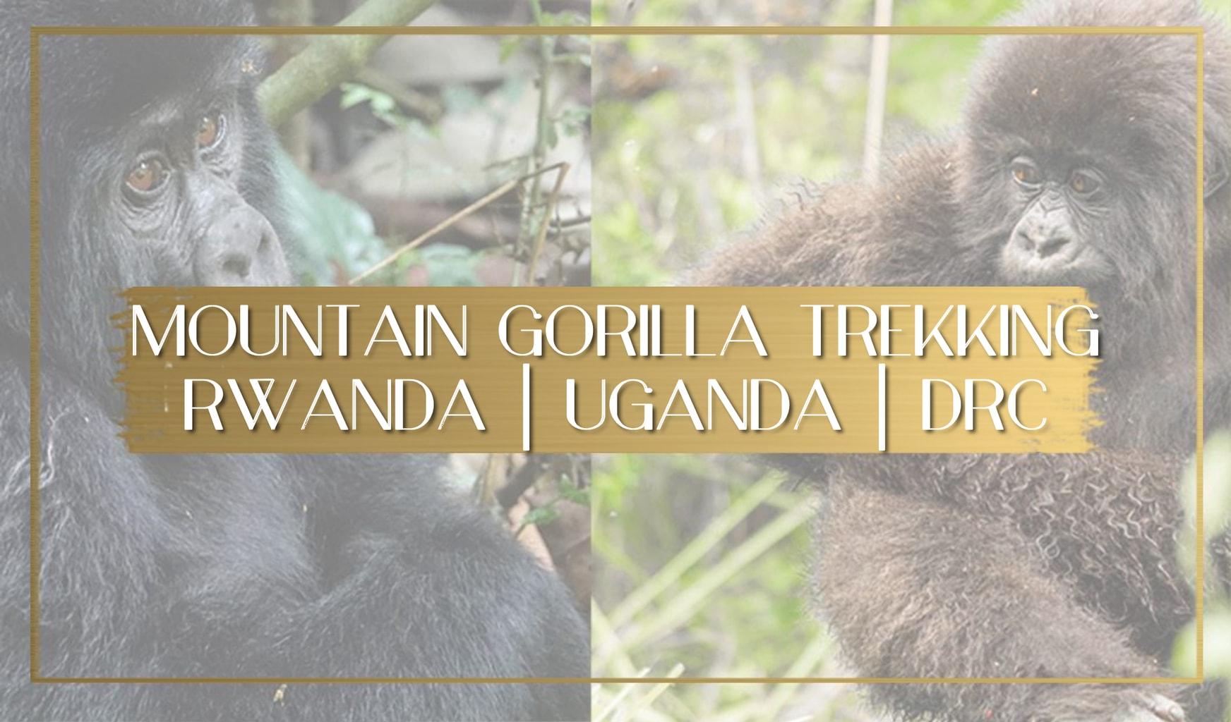 Mountain gorilla trekking main