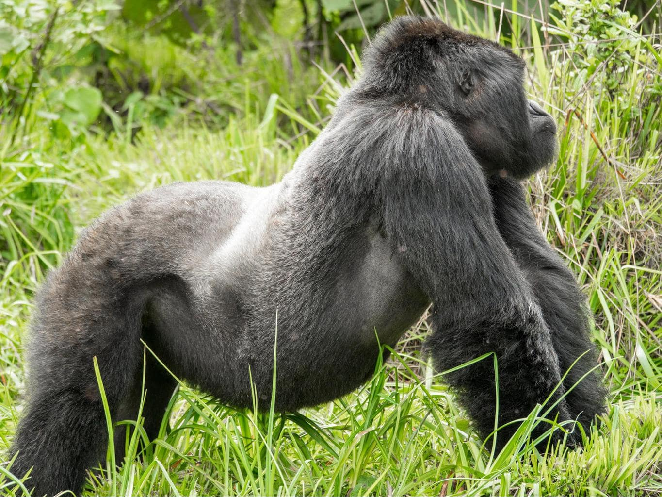 Silverback gorillas get the name from the silver hair on their back