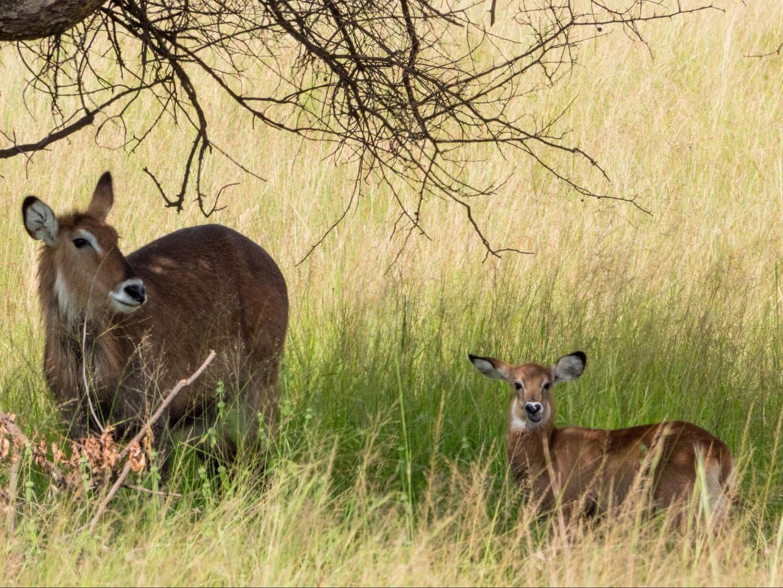 The antelopes at Akagera National Park