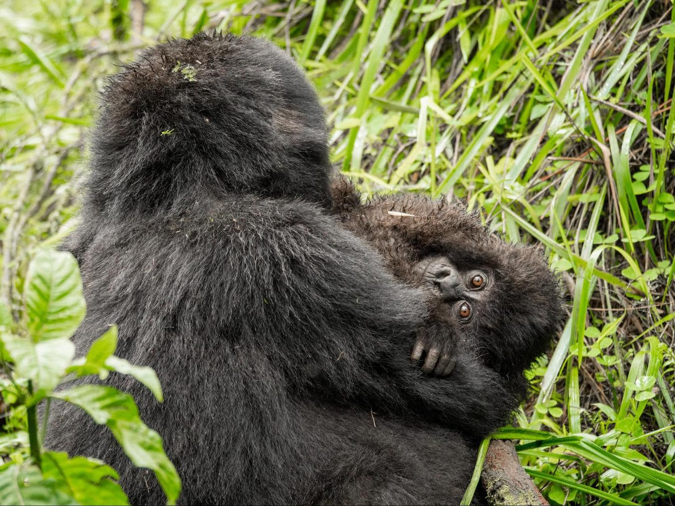 The most adorable baby gorilla