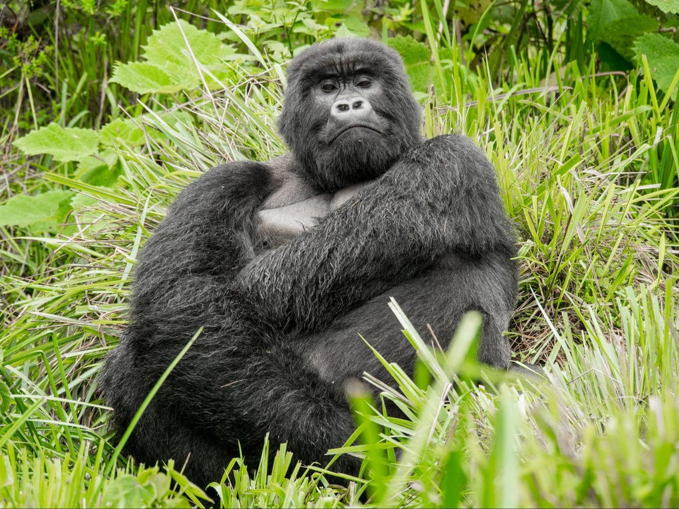 The silverback gorilla, imposing