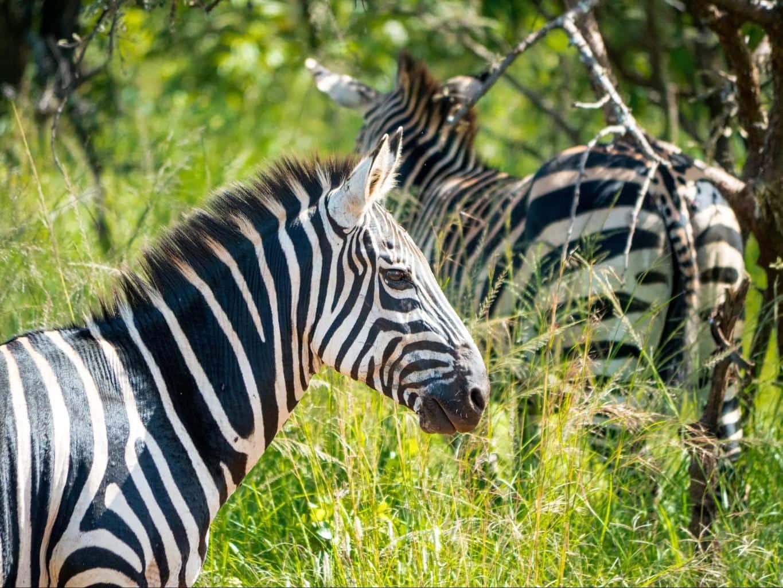 The zebras in Akagera National Park