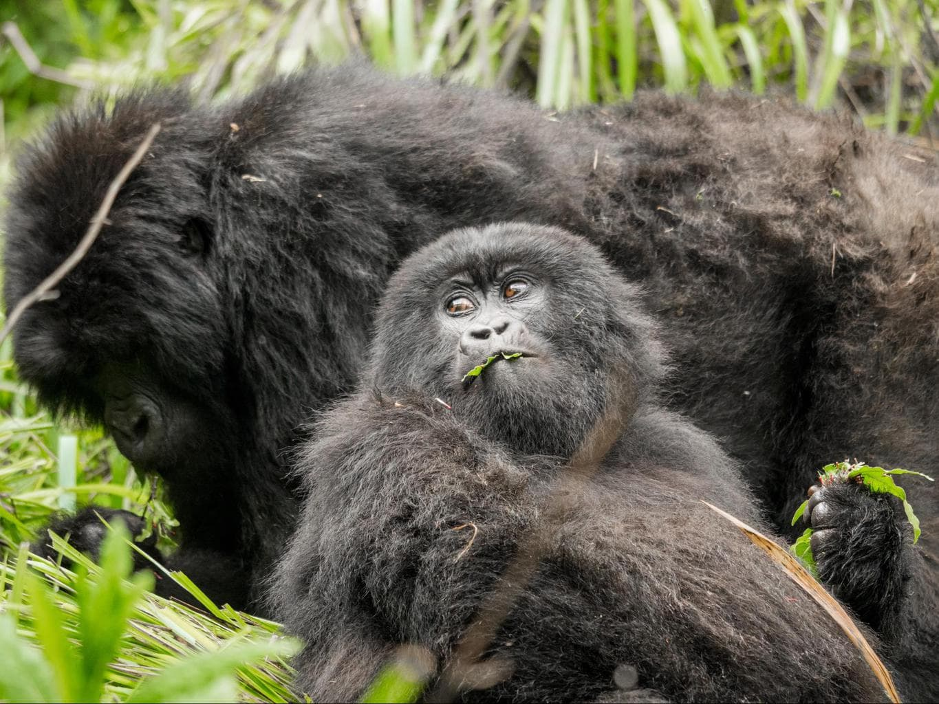 Young gorilla eating leaves