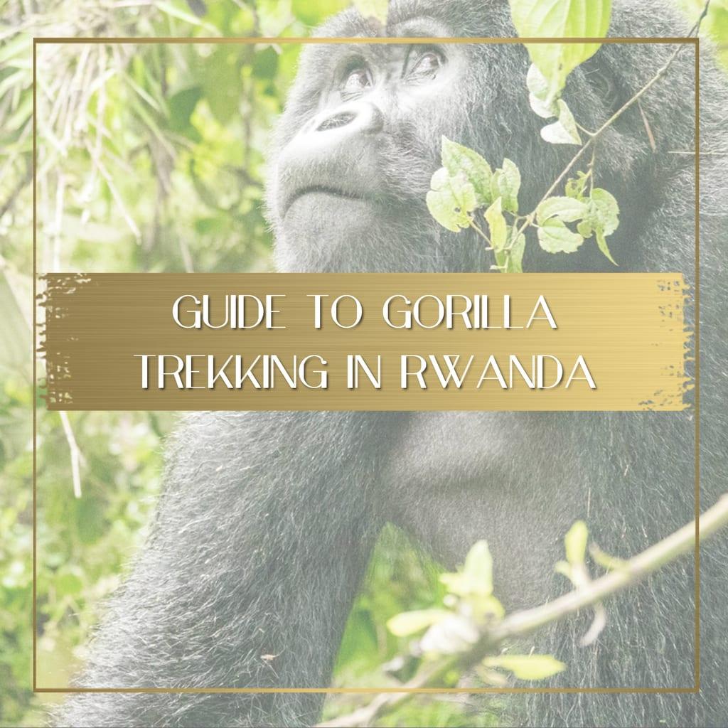 Gorilla Trekking in Rwanda feature