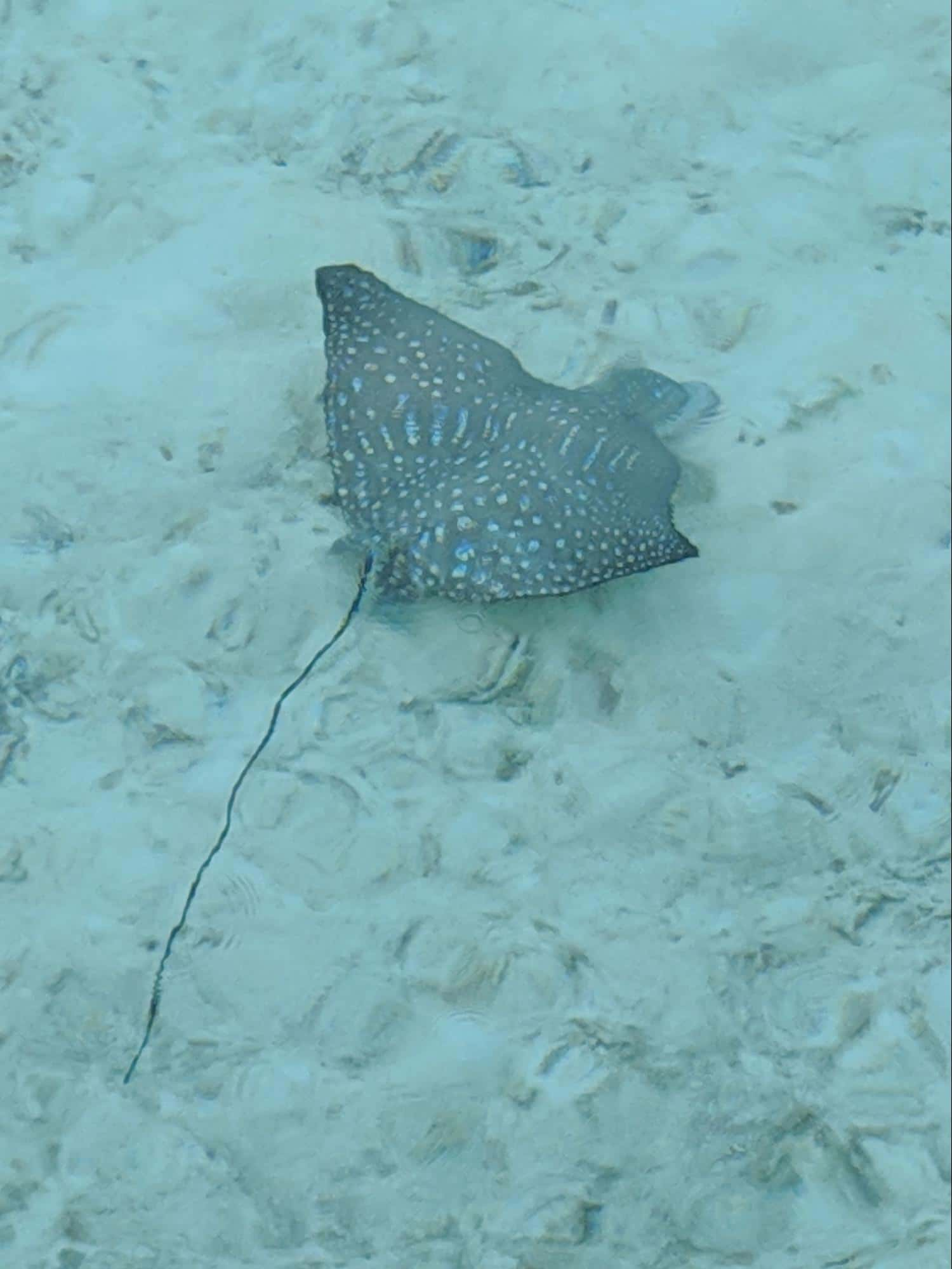 Spotted eagle ray seen in the lagoon