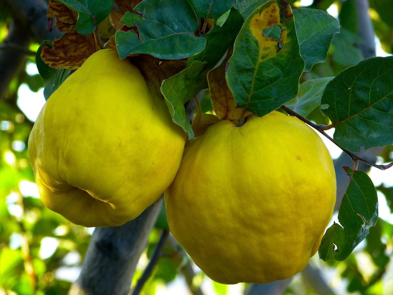 A quince fruit