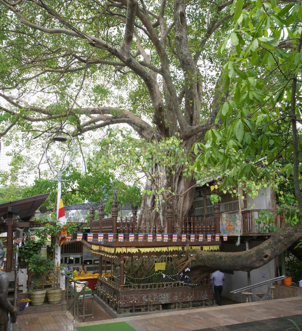 Bodhi tree at Gangaramaya