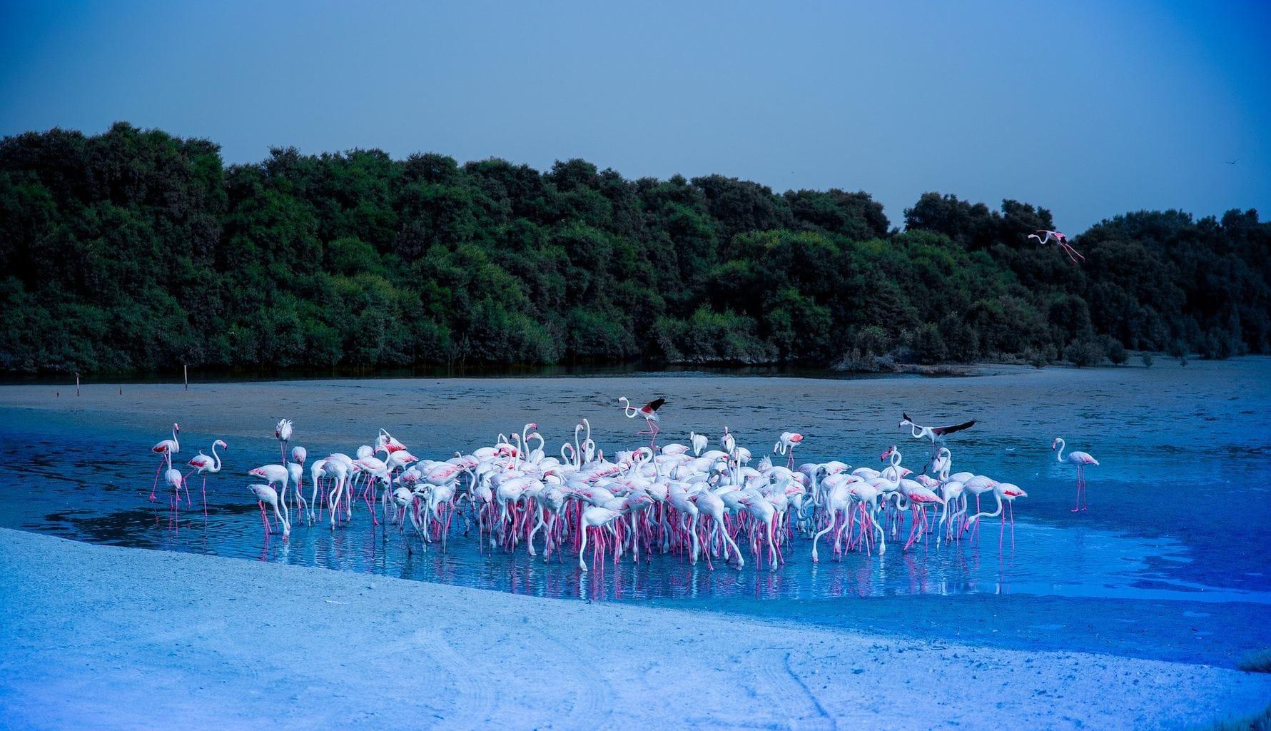 Spot flamingos at Ras Al Khor