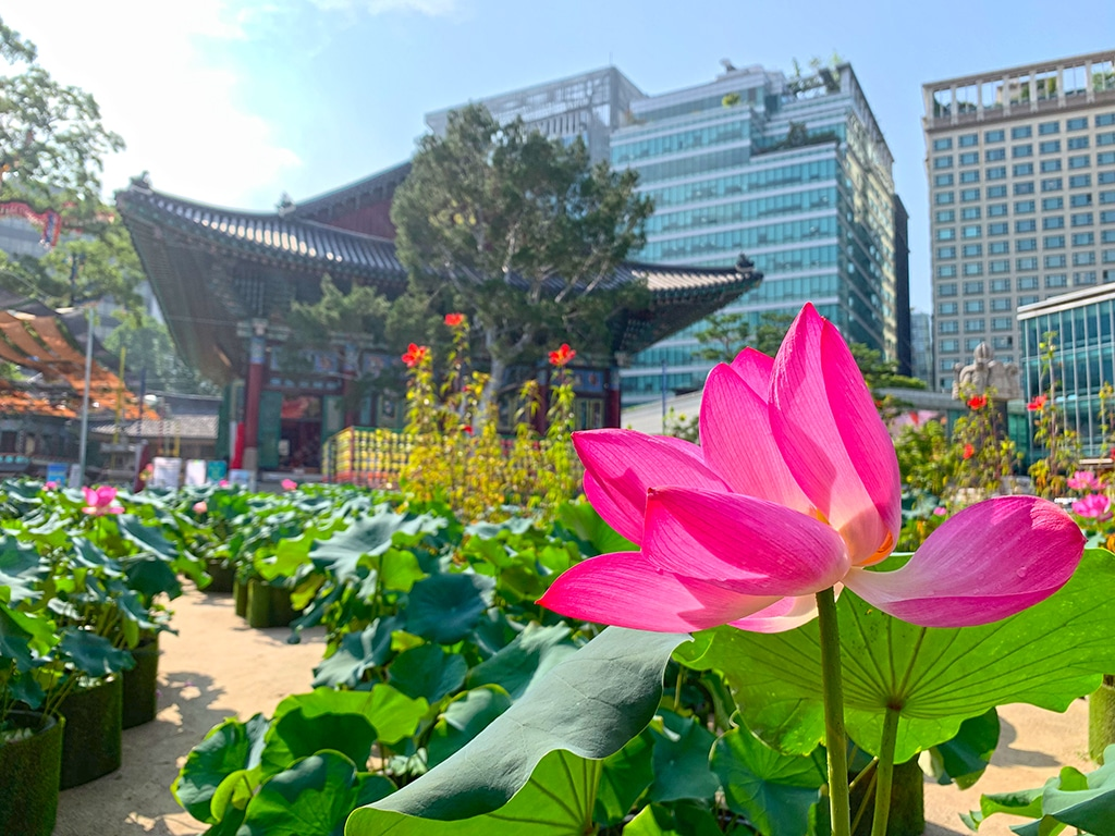 Lotus leaf in bloom at Jogyesa temple