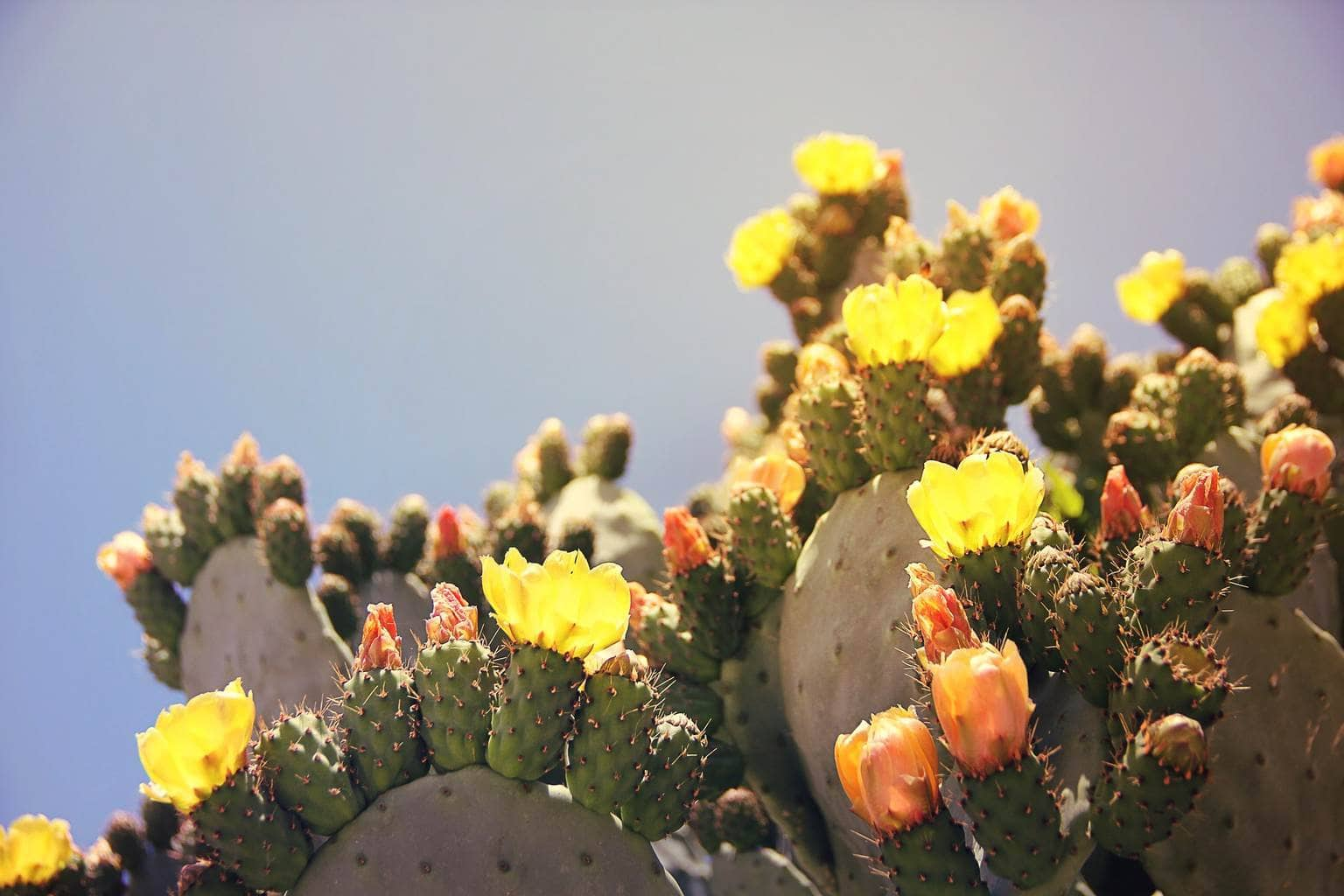 Nopal is a type of cactus