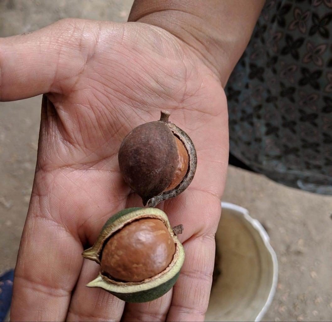 Macadamia nuts at Valhalla Experimental Station