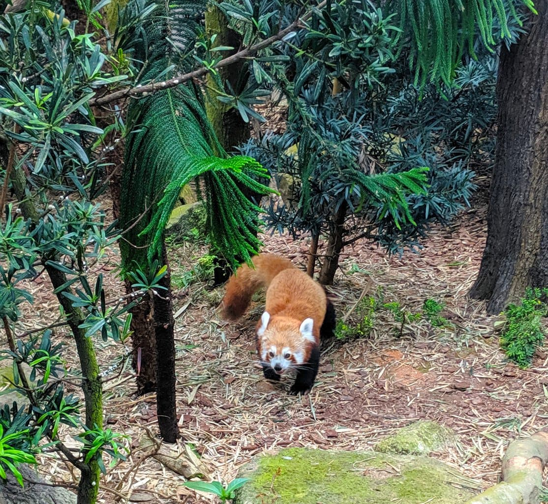 Red panda at Singapore River Safari