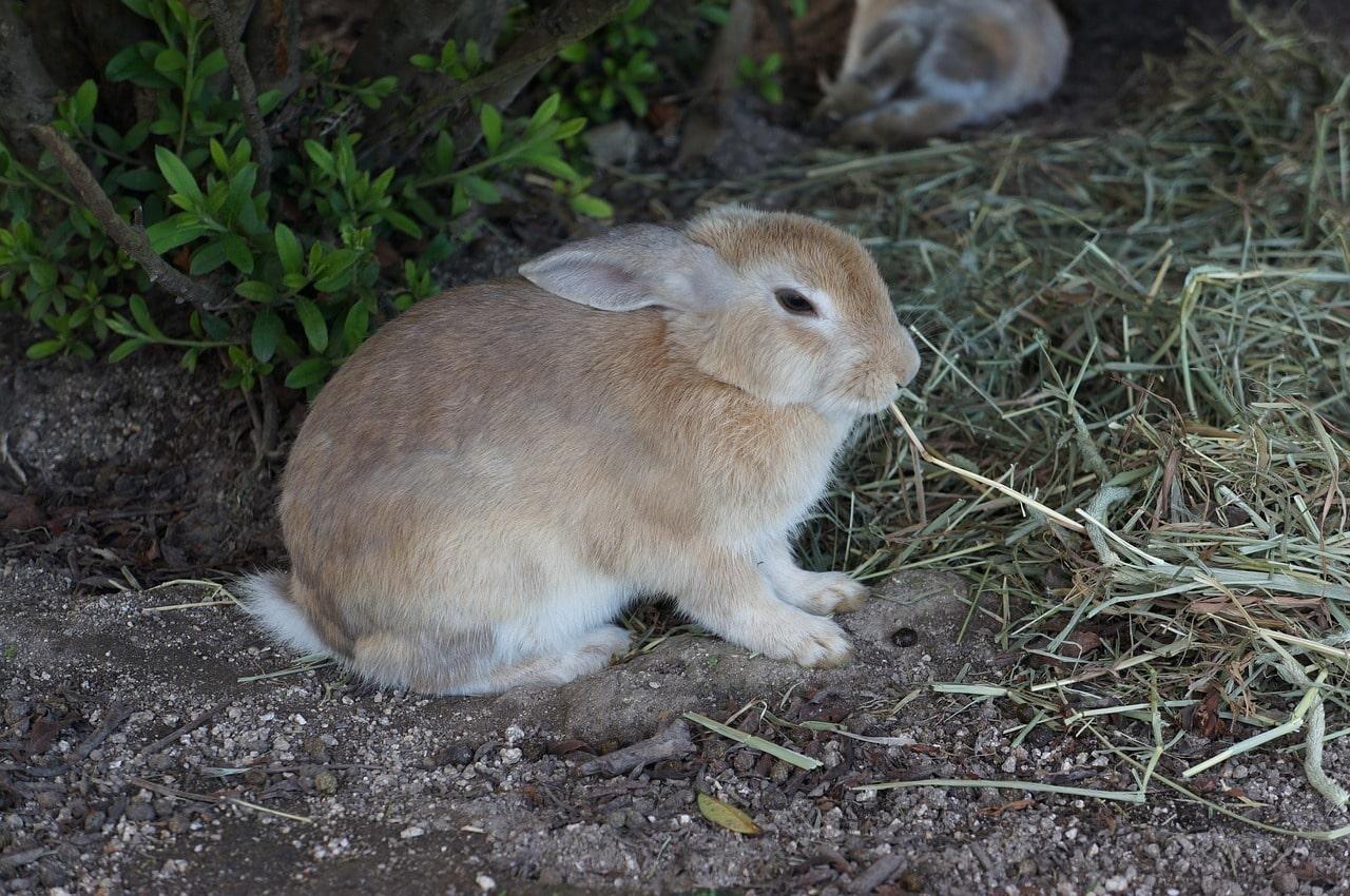 A rabbit in Okunoshima