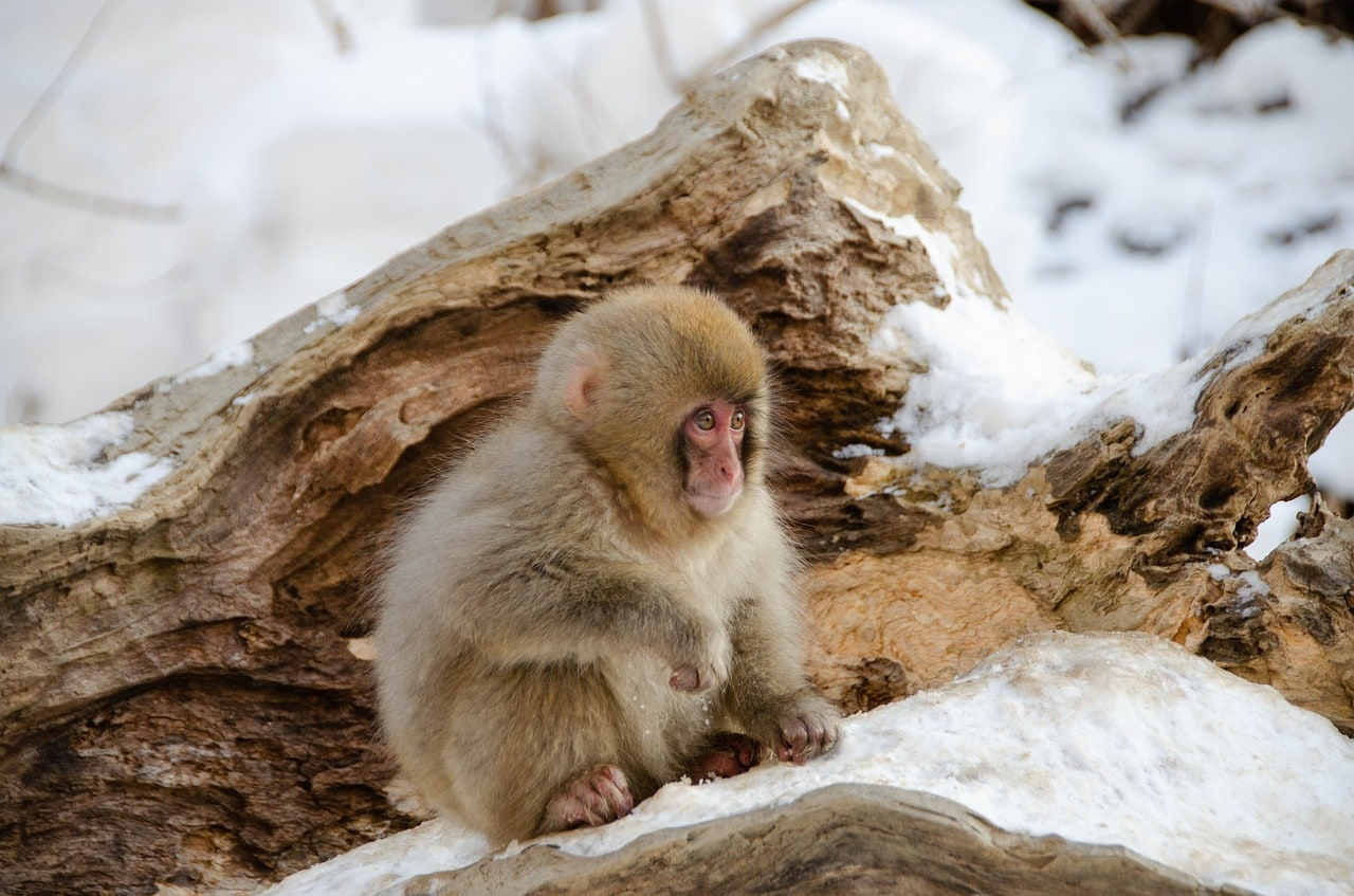 Observing the Snow Monkeys, one of the best things to do in Japan