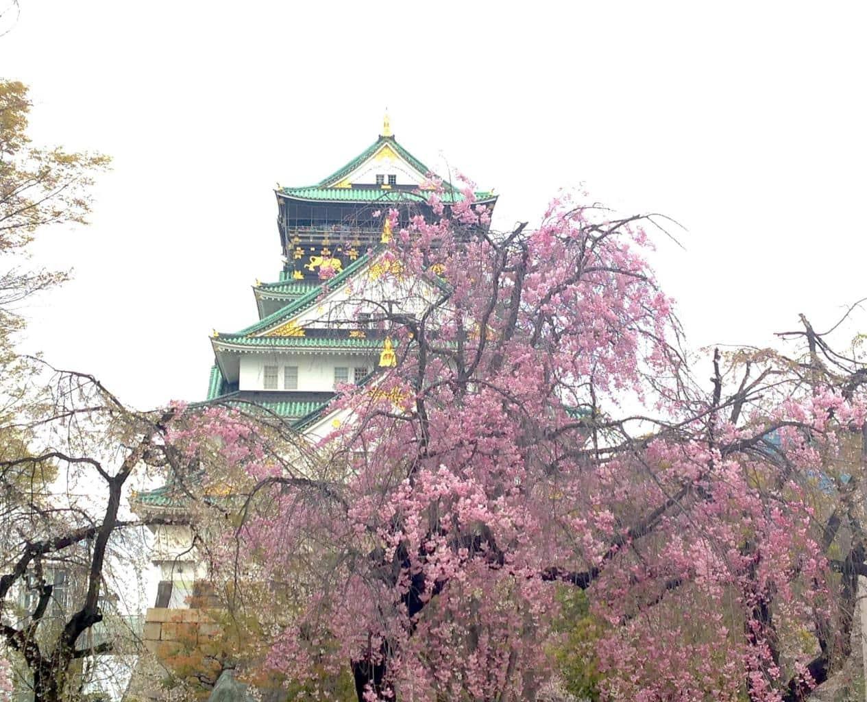Osaka Castle during sakura