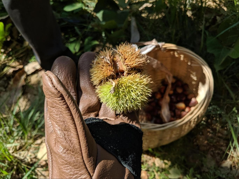 Chestnut picking at Alila Anji