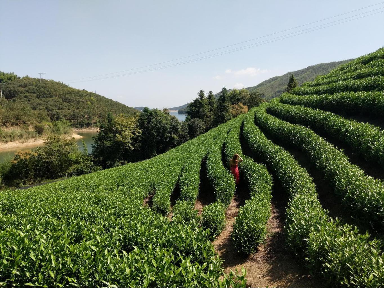 The white tea plantations at Alila Anji