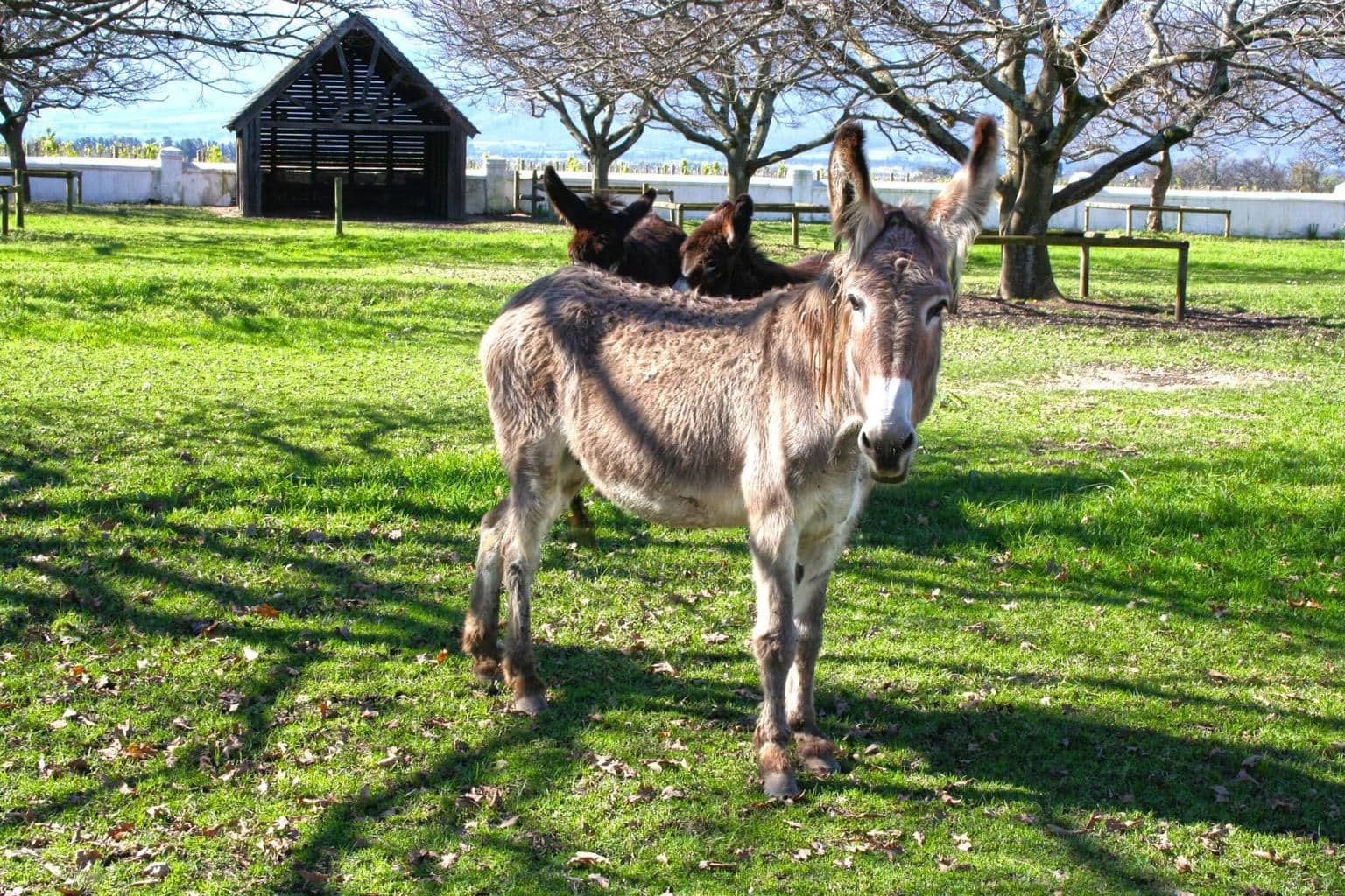 Donkey at Babylonstoren