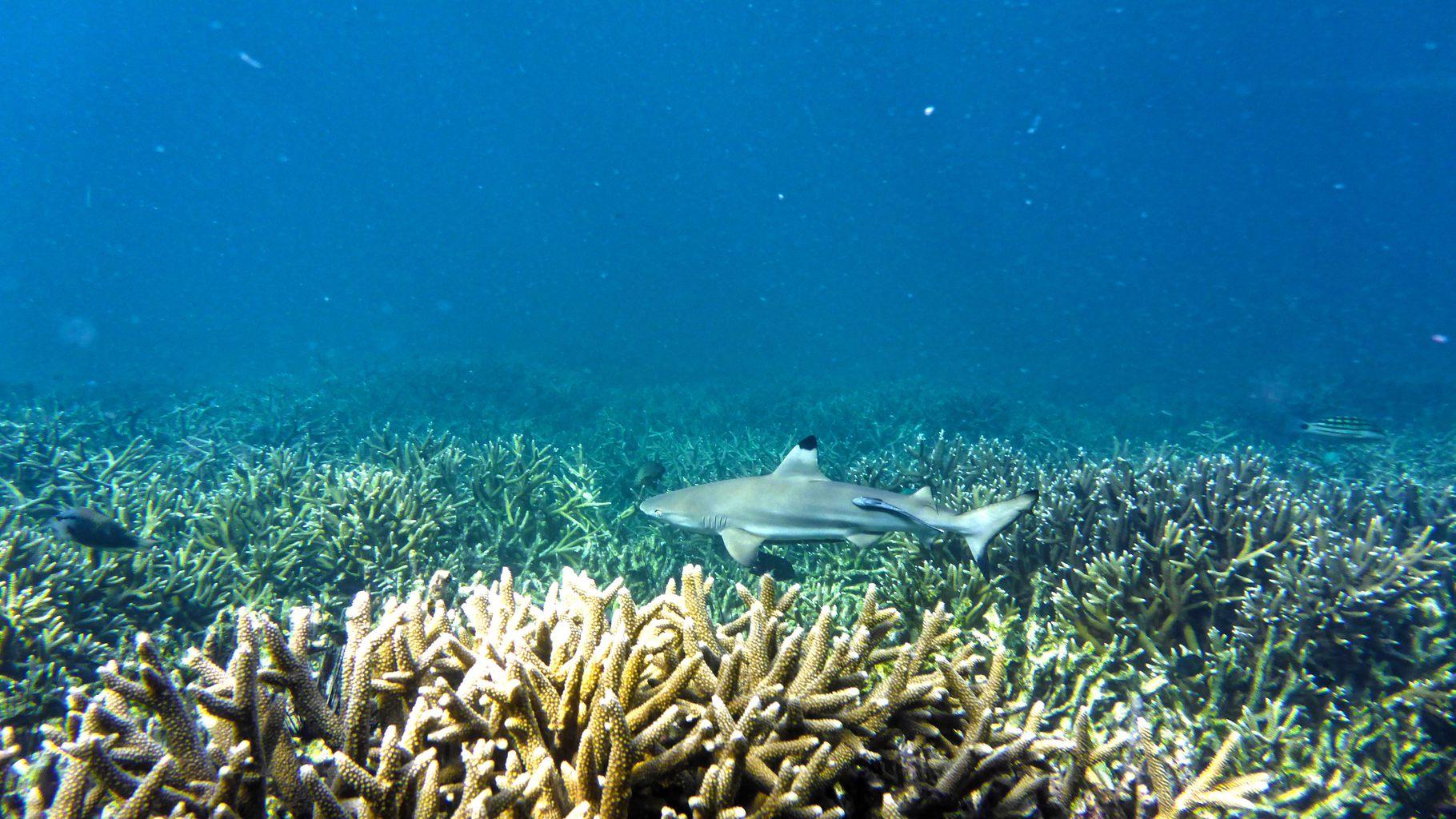 Black tip fin shark