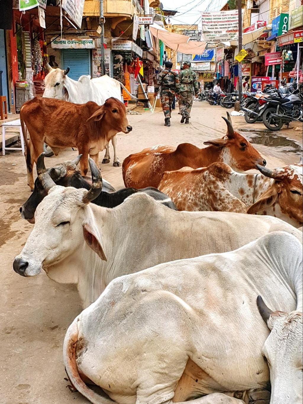 Cows are everywhere in Jaisalmer