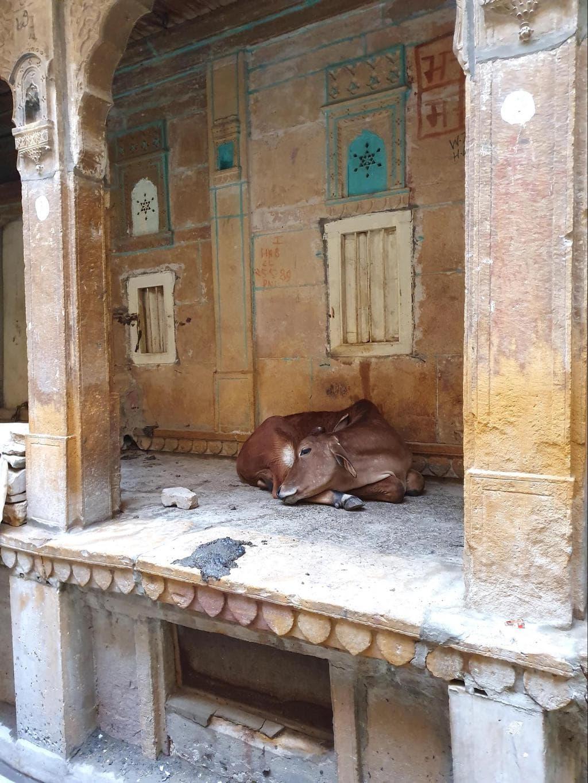 Cows in Jaisalmer