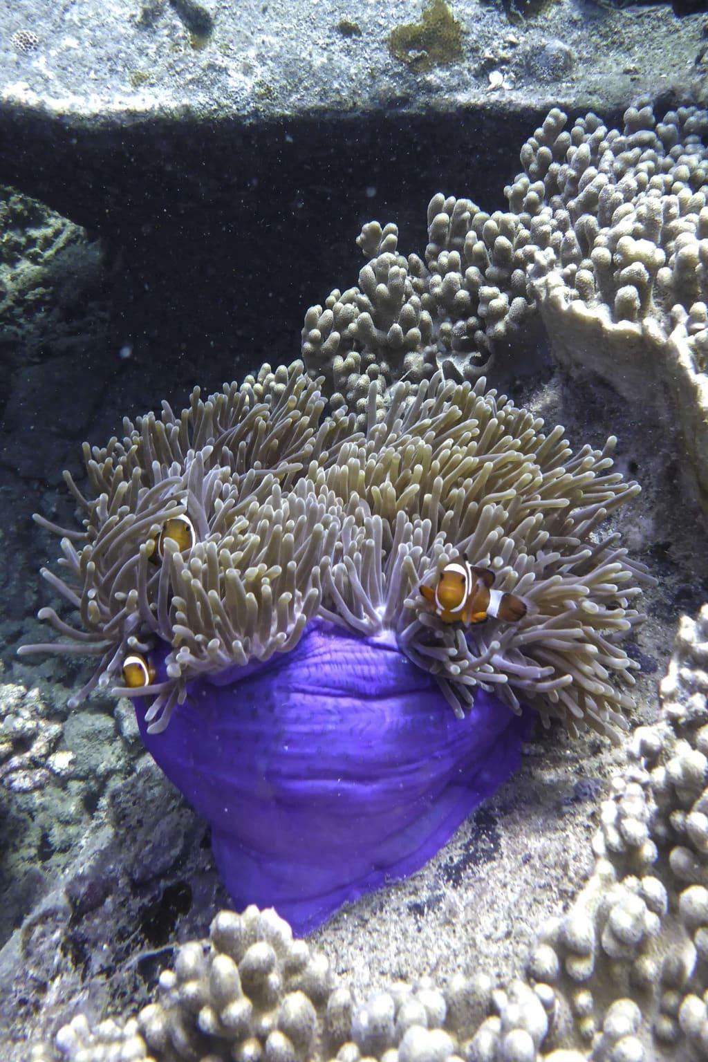 Finding clown fish in Tioman Island