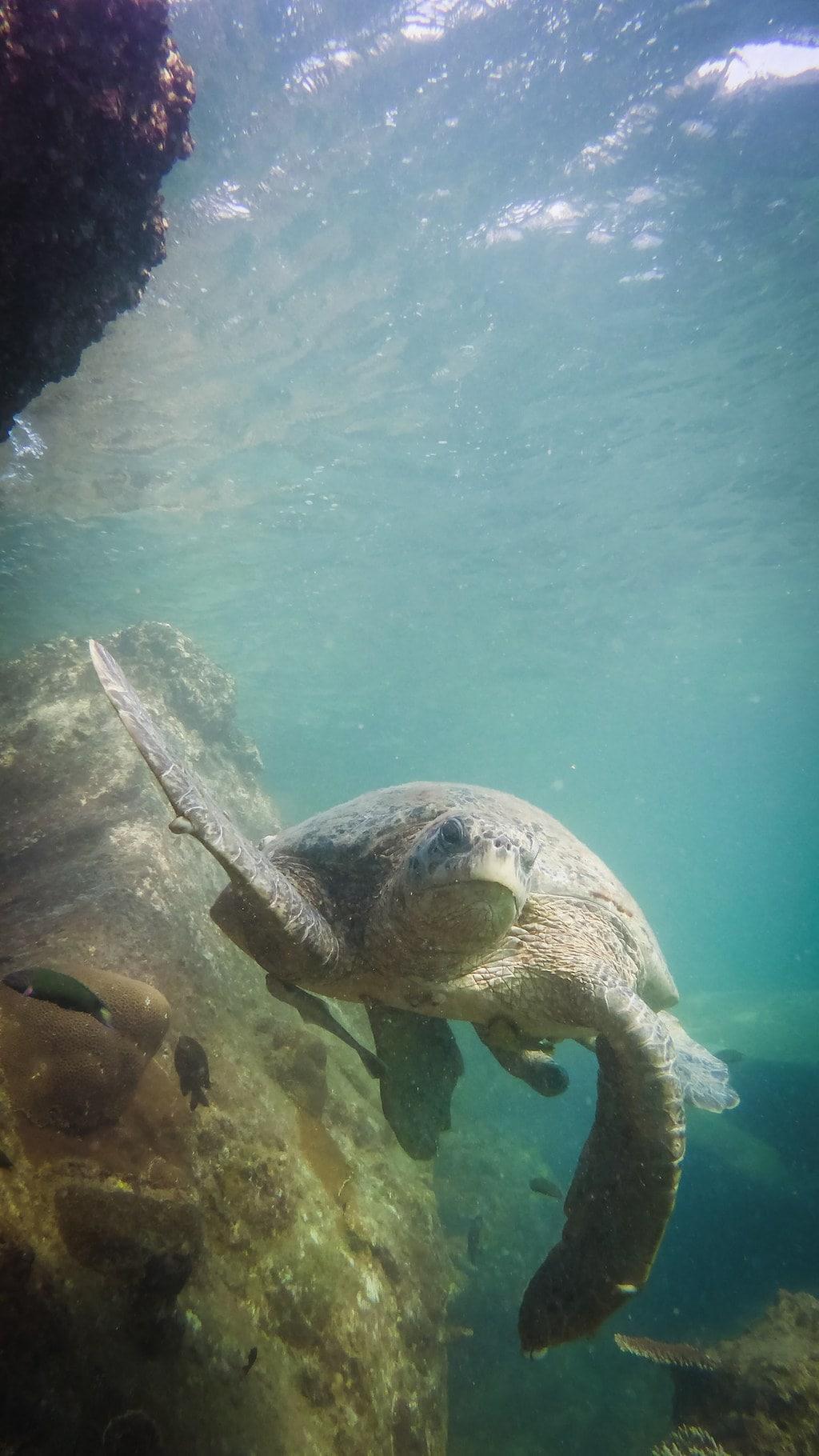 Gorgeous Hawkbill Turtle