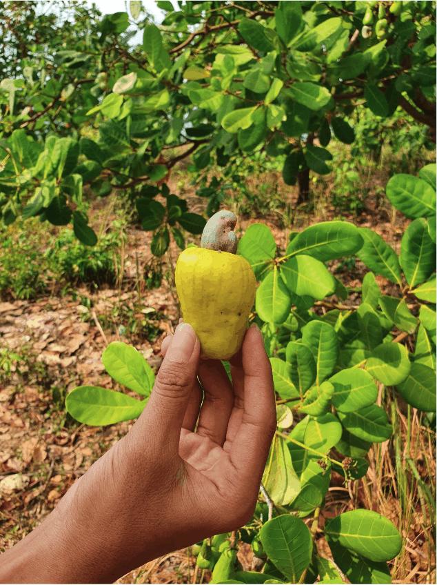 Cashew nut and fruit