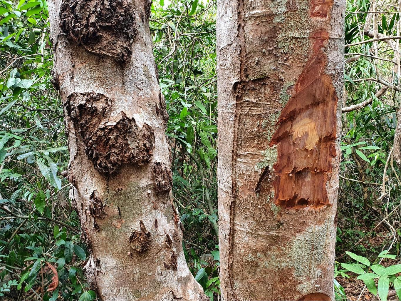 Trees cut to check if they are rosewood trees
