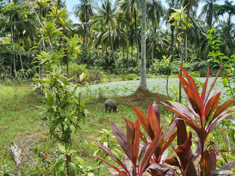 Wild pig in Pulau Ubin