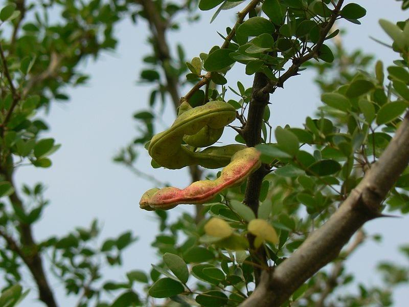 Madras Thorn Wikipedia Dinesh Valke (CC BY-SA 2.0)
