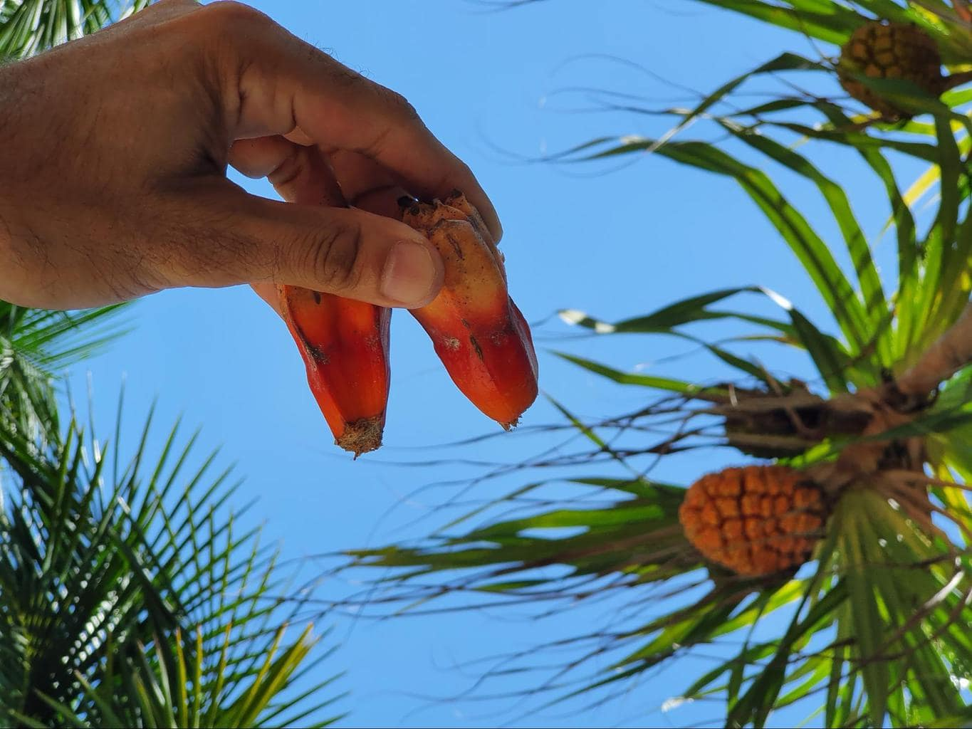 Screwpine or hala fruit