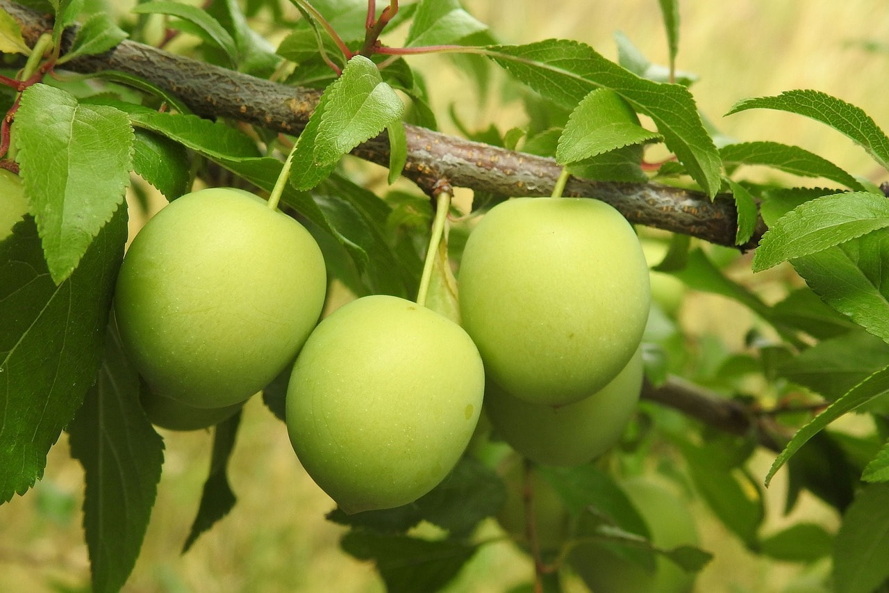 Sour or Cherry plum
