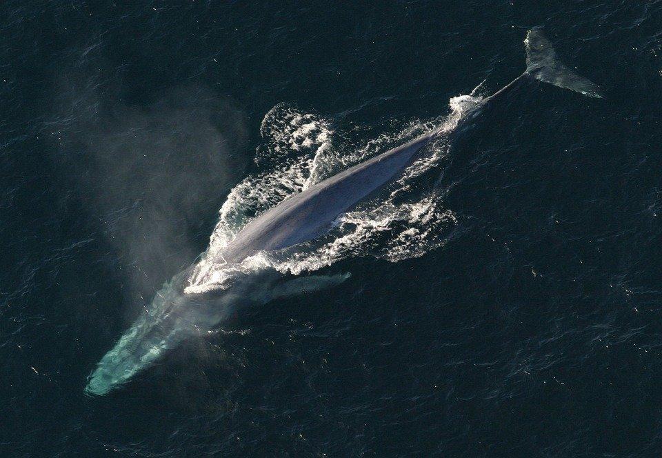 Blue whale off Newport Beach