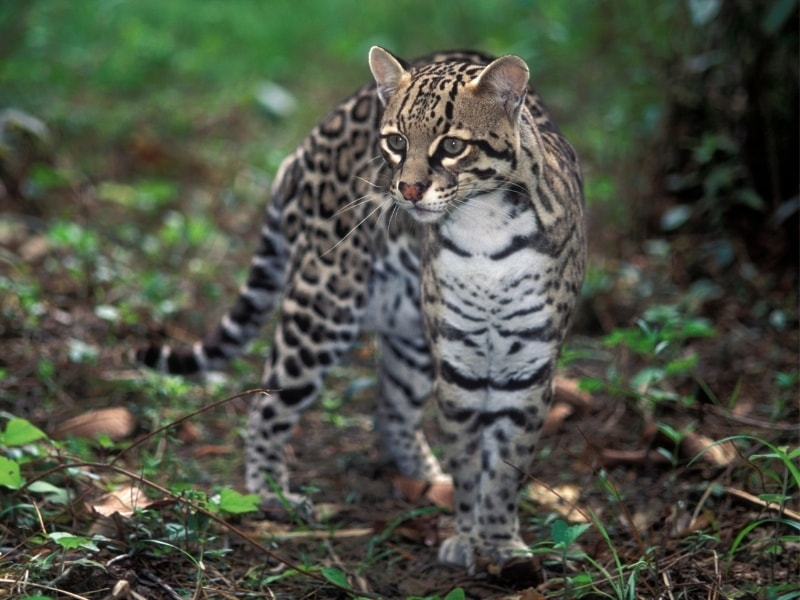 The cute ocelot