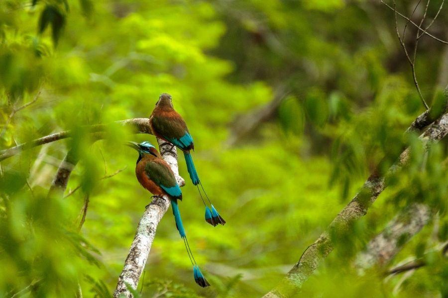 Mot mot Bird in Chichen-Itza