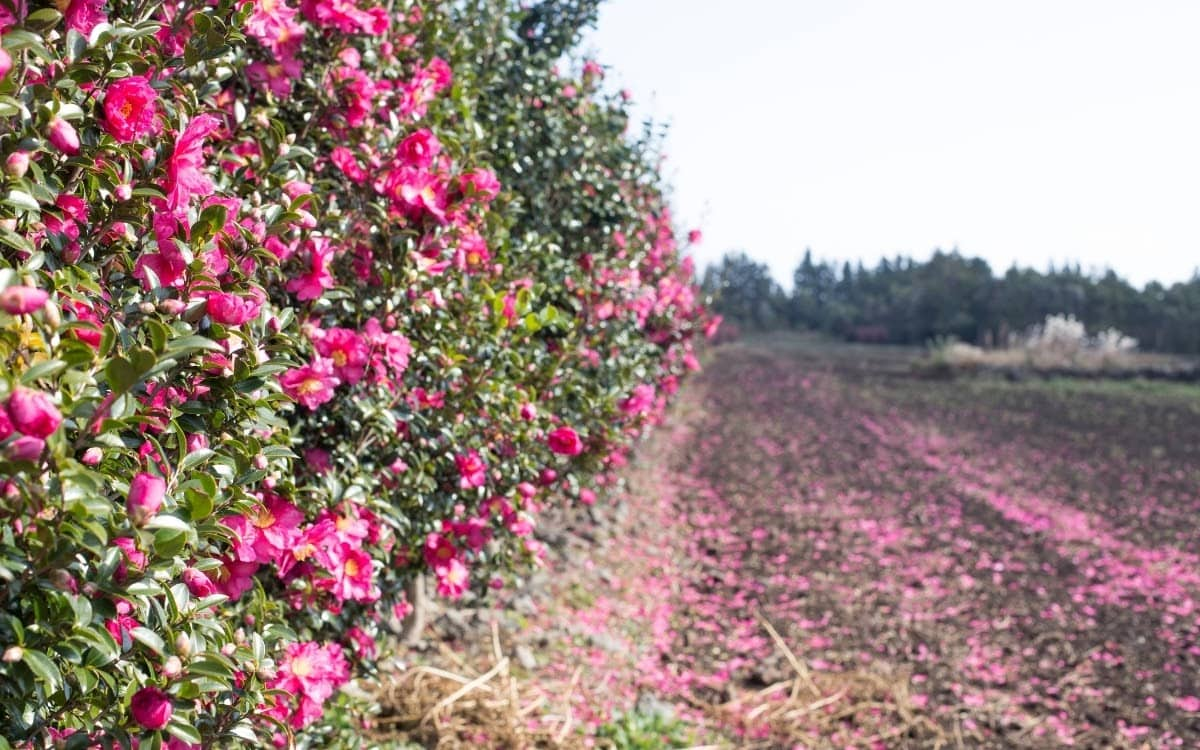 The camellias bloom in winter in Jeju