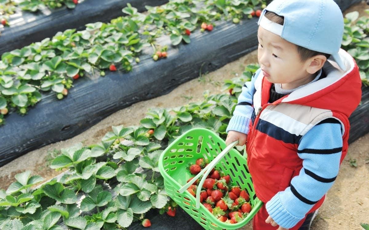 Picking strawberries in Namyangju