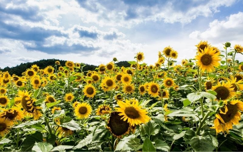 See the sunflowers in Taebaek City