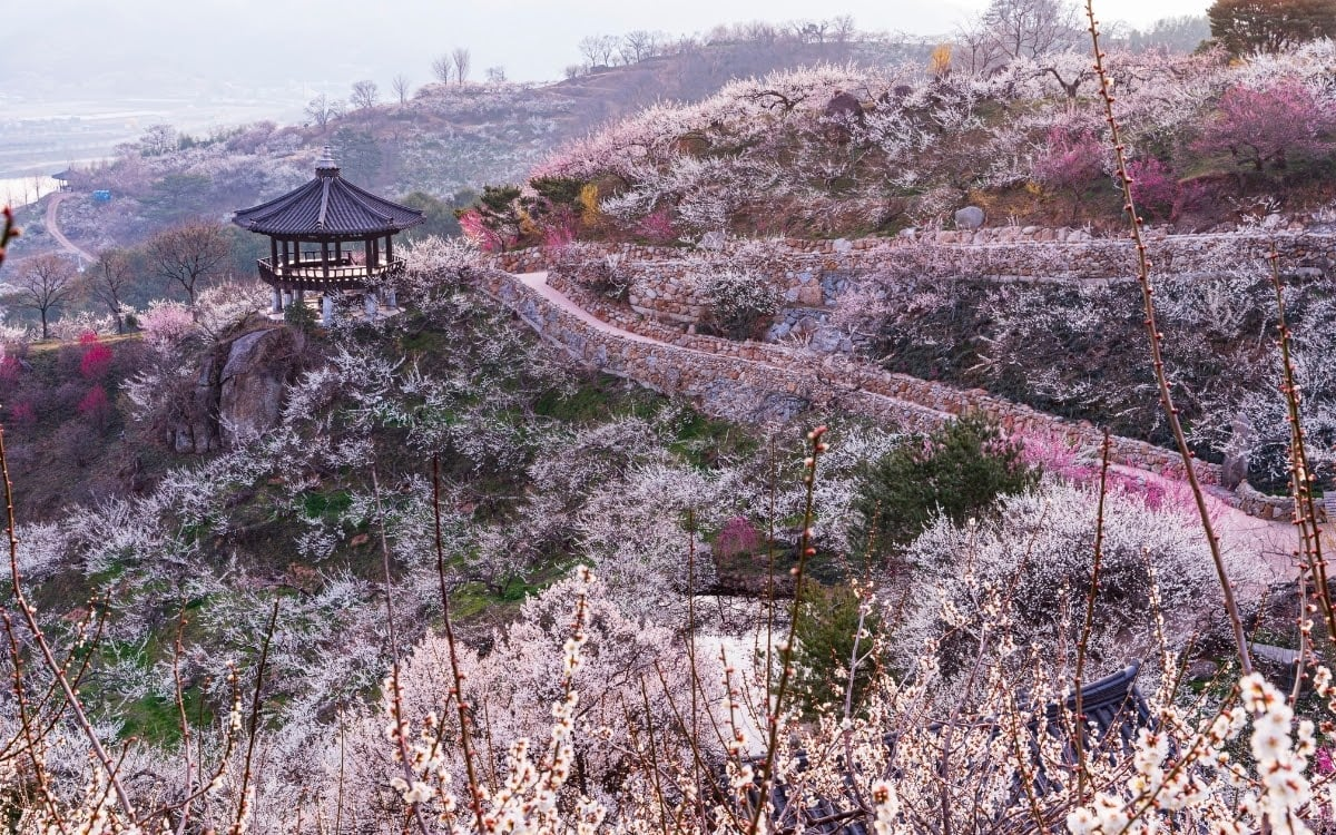 Beyond cherry blossoms, Gwangyang is all about maehwa (apricot/plum) blossoms
