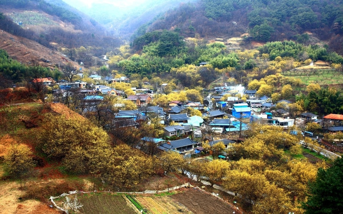 From pink to yellow, watch the Sansuyu blossom
