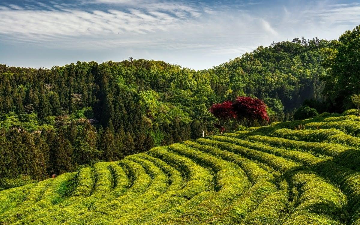 The beautiful green tea hills in Boseong