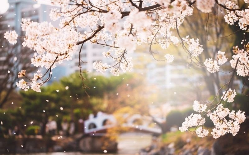 Cherry blossoms in Spring South Korean festivals