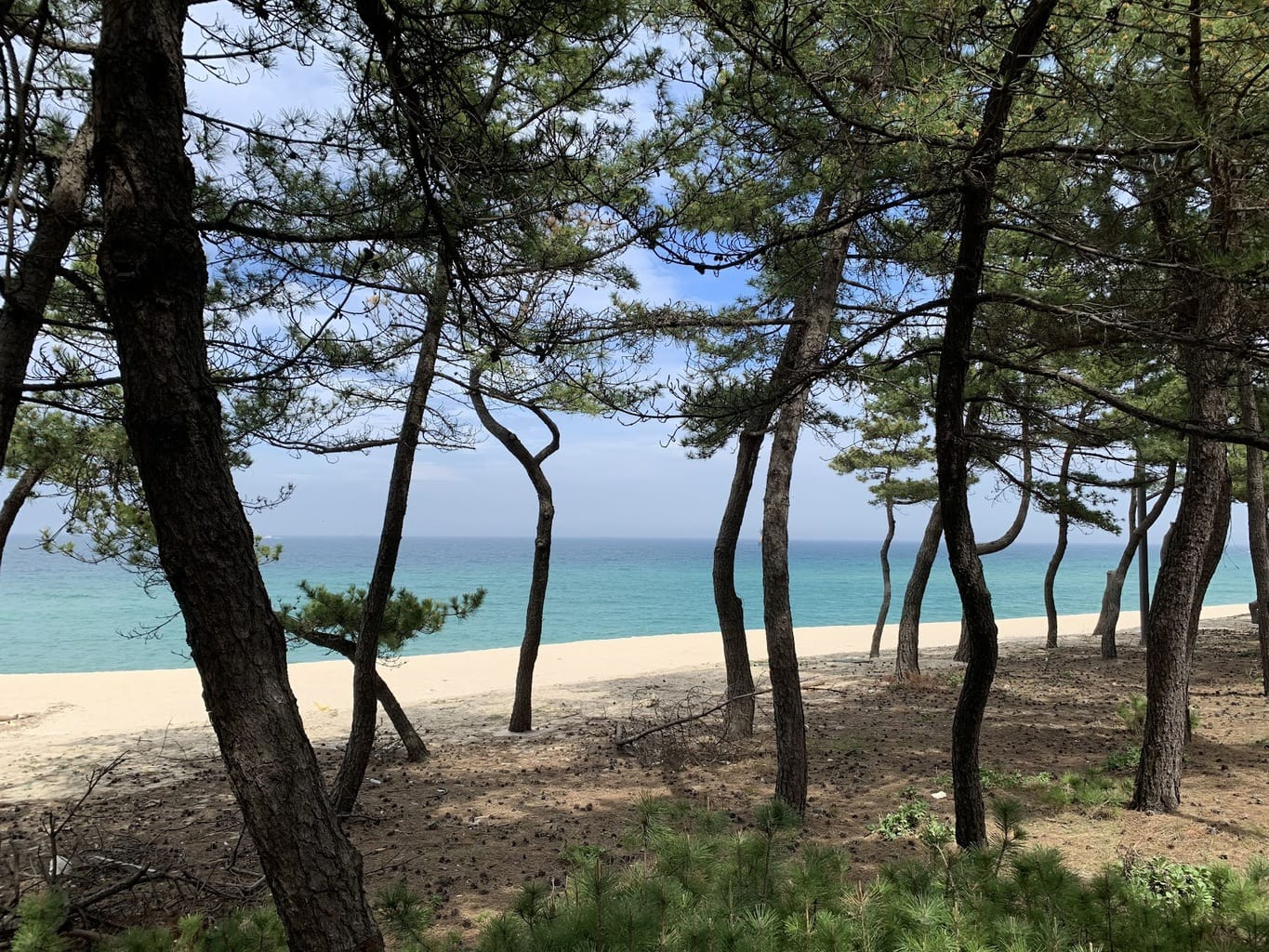 Pine trees on the beaches